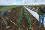 onion weeding