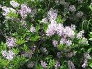 Final Lilacs Lend a Wonderful Scent to the Garden