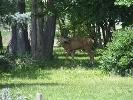A Young Buck Comes to See if our Deer Fence is Secure