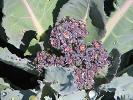 Purple Cauliflower Sparkles After Being Watered
